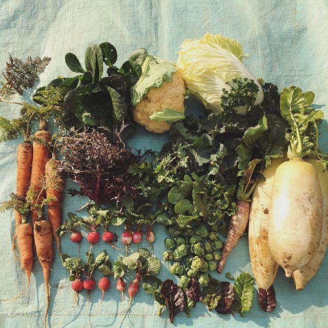 家庭菜園1月29日2週間ぶりの畑。寒さよけに不織布をかけていた葉物野菜が少しずつ大きくなってて嬉しい。人参、小松菜、白菜、紫水菜、ケール、シュンギク、ラディッシュ、芽キャベツ、スイスチャード、ルッコラ、大根、紫大根。霜柱と一緒に飛び出してしまったチビ人参。まだまだ小さなロマネスコ。#家庭菜園